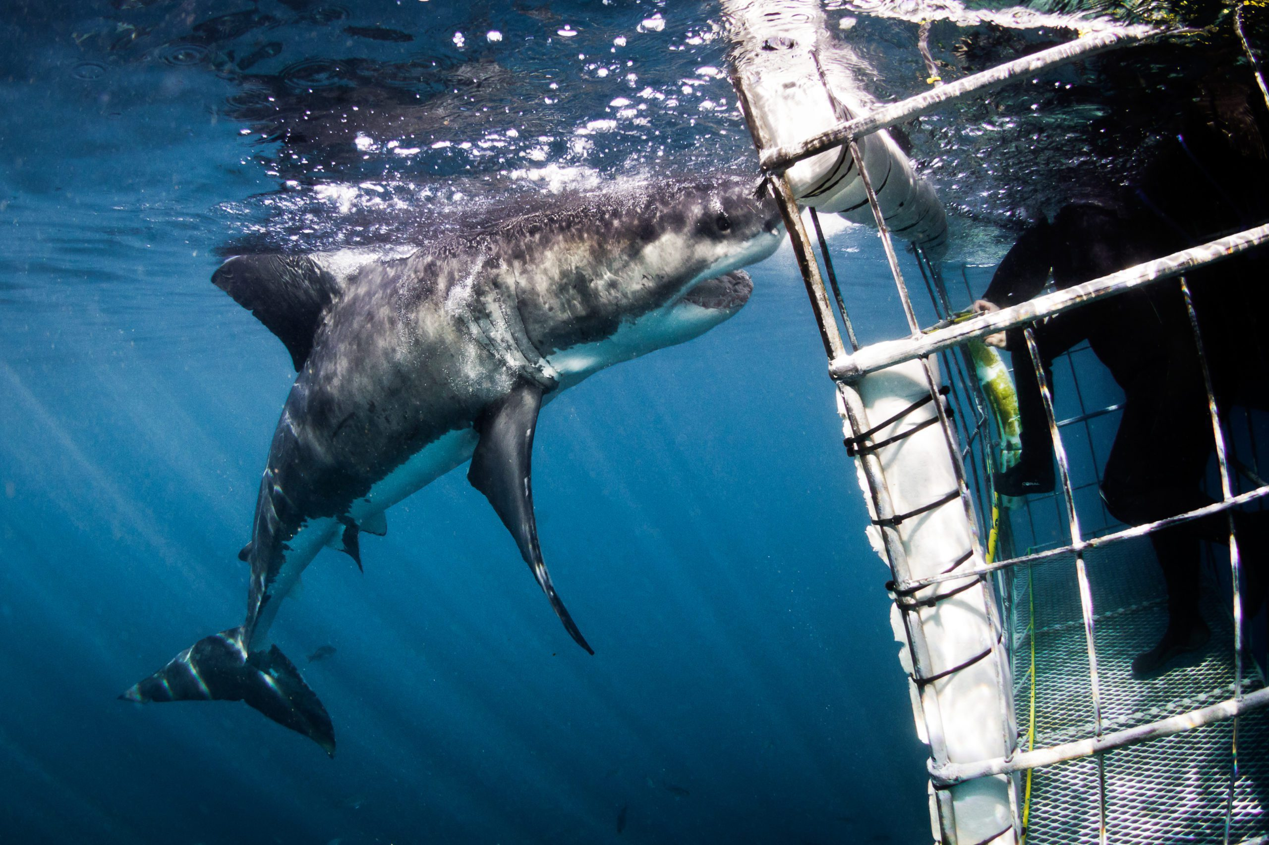 cage diving safari white shark south africa cape town