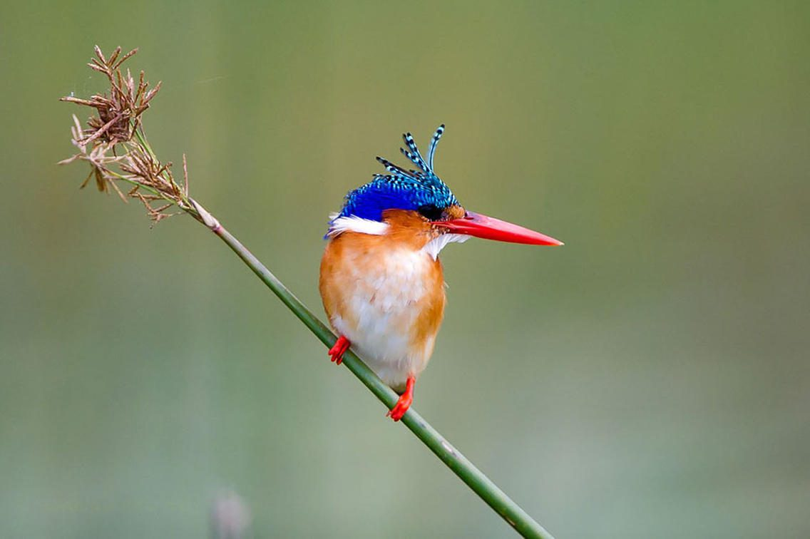 Malachite Kingfisher at Jacana Camp, perched on a tall grass