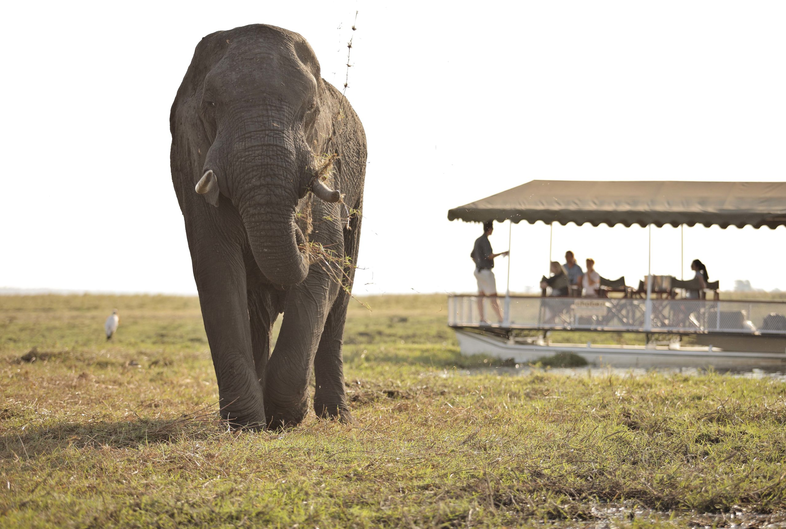 Lone elephant walking with a boat cruise in the background at Chobe Under Canvas