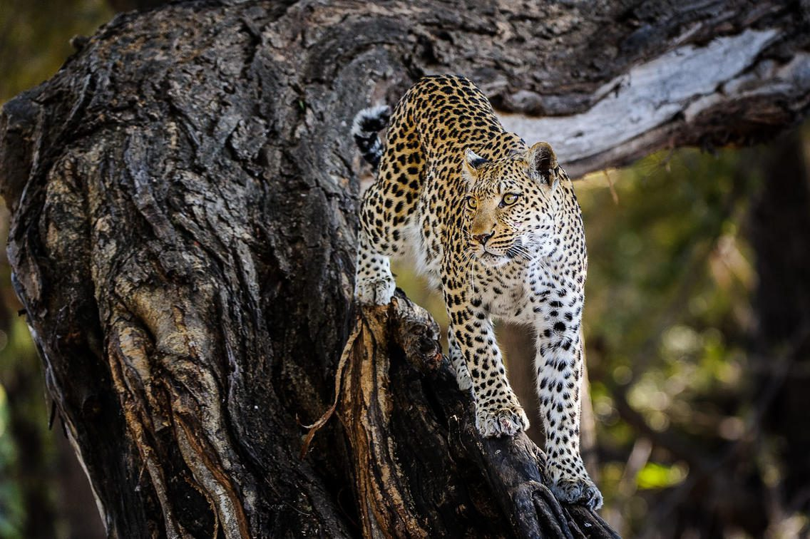 Leopard in a tree at Little Mombo