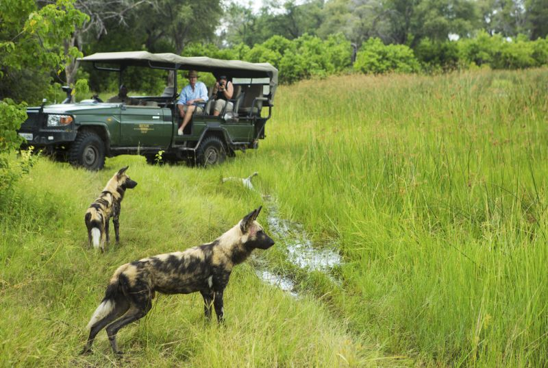 Safari vehicle passengers viewing two wild dogs in the grass on a game drive on safari in Botswana.