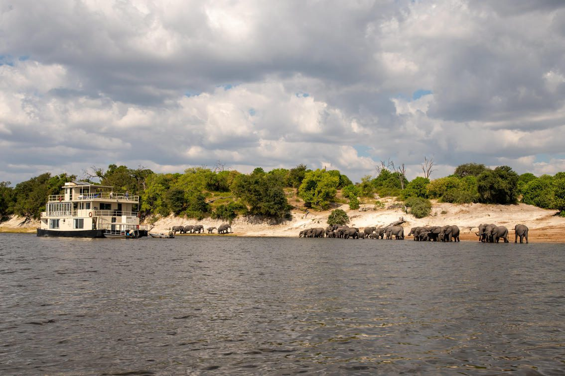 Chobe Princess houseboat pulls up alongside a herd of elephants as they drink from the Chobe River