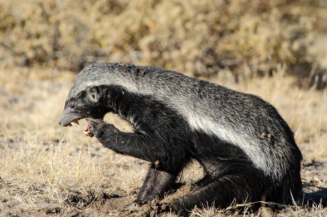 Honey badger digging in the ground for food in the Kalahari