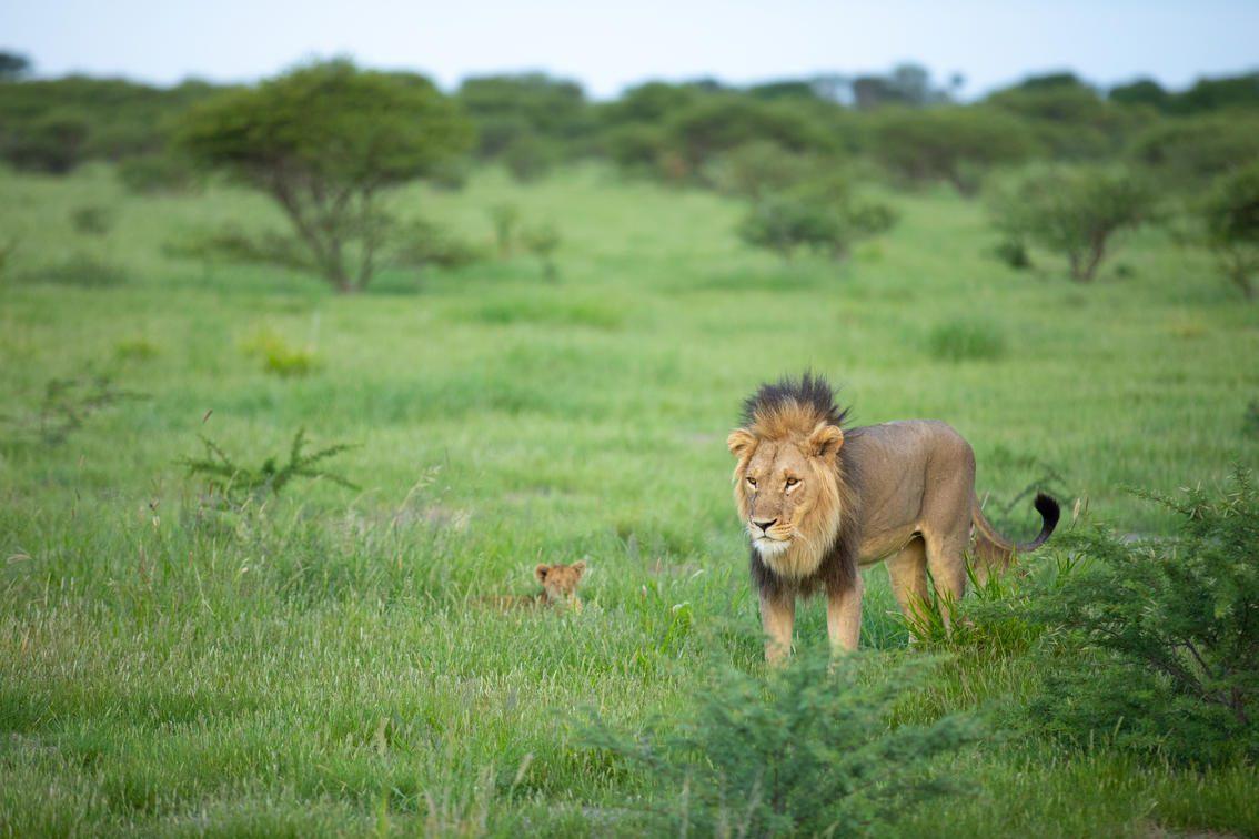 Kalahari black maned lion walking through lush grass with a cub