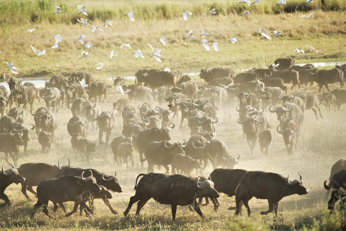 Buffalo herd running across a plain in the Chobe Enclave from Linyanti Bush Camp