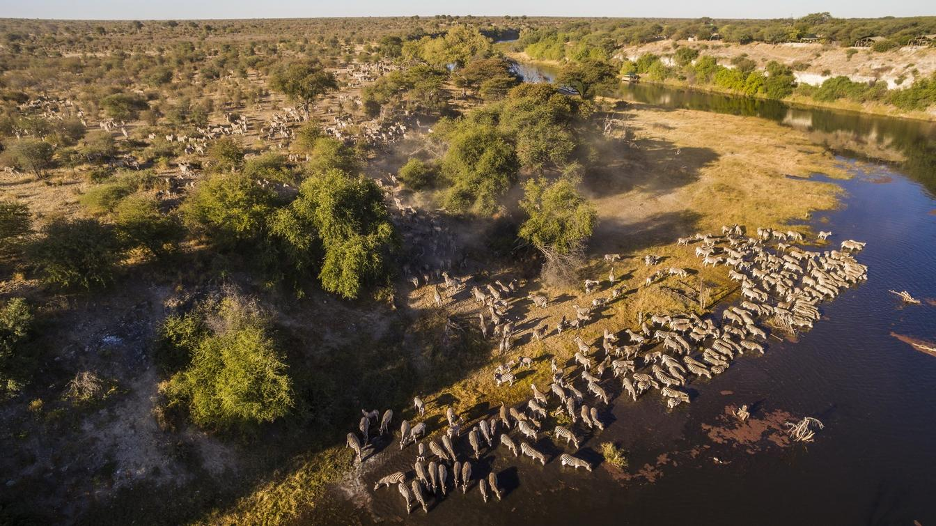 Aerial shot of the zebra migration at Meno a Kwena as they drink from the Boteti River
