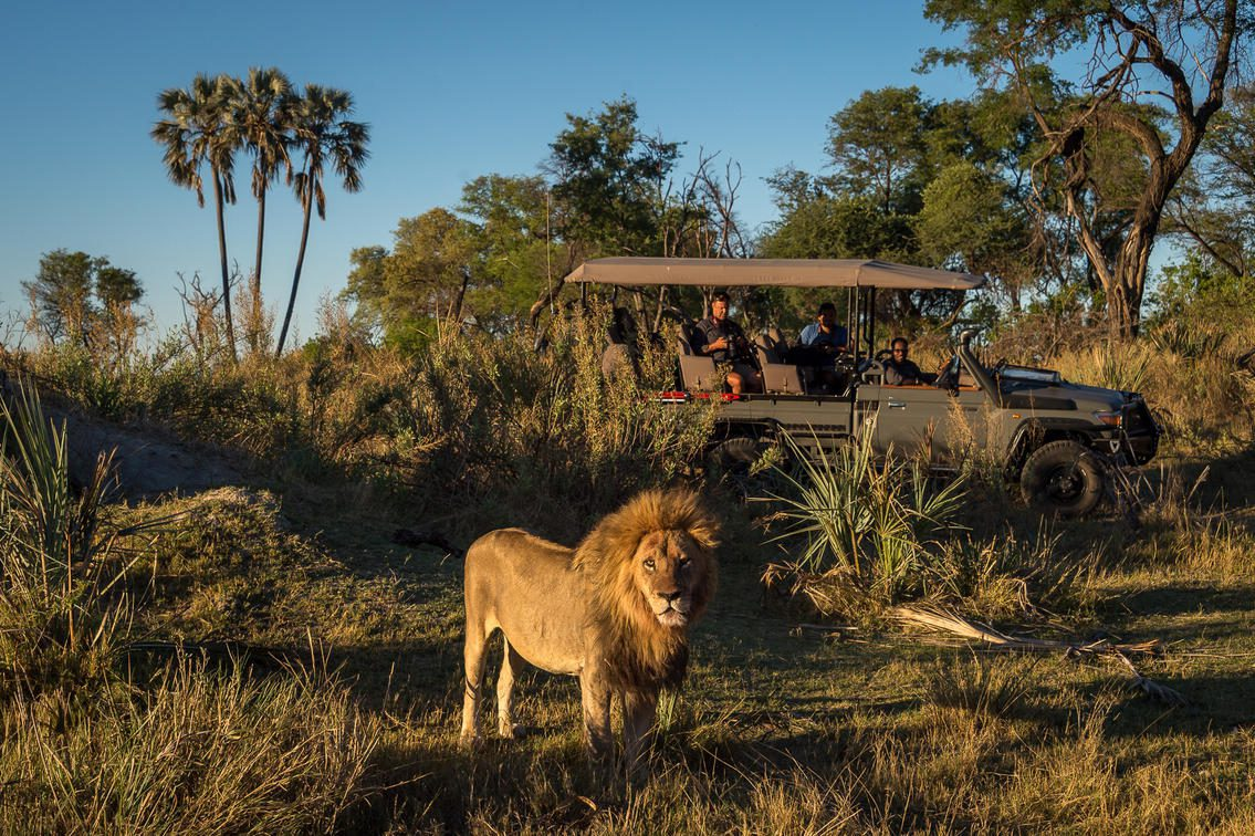 Guests at Qorokwe spot a male lion on a game drive.