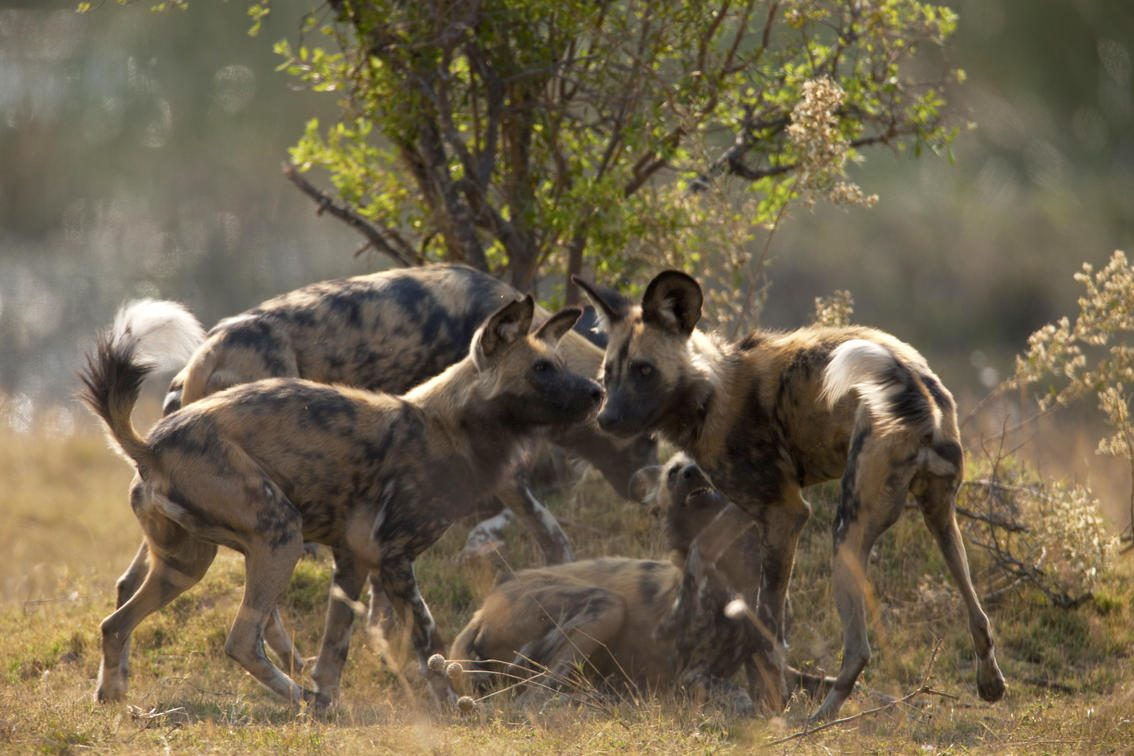 Pack of wild dog congregate around a tree at Selinda.