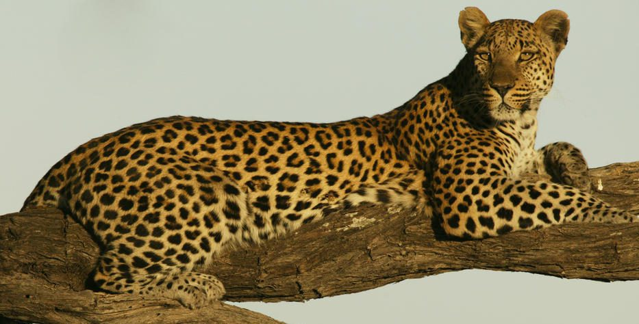 Leopard relaxes on a tree brand at Selinda seen on our Zimbabwe and Botswana safari
