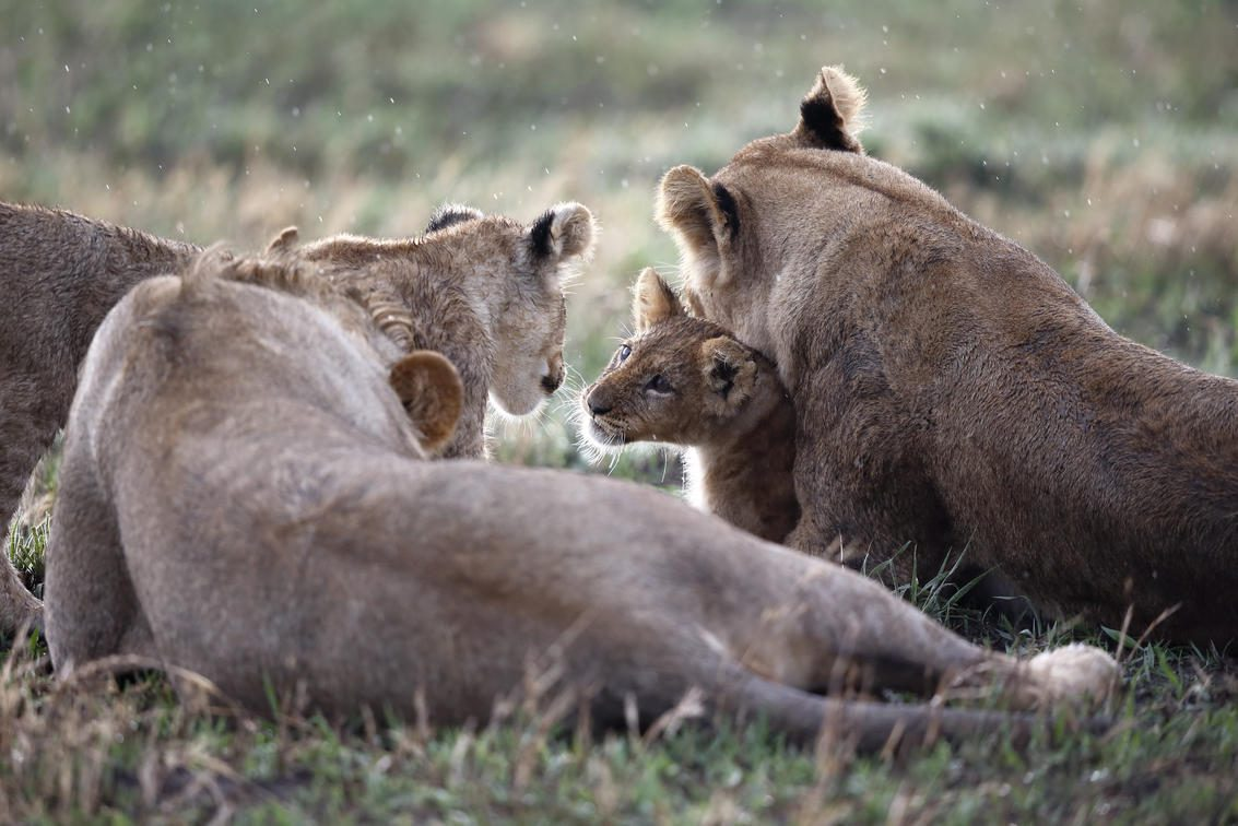 Lionesses with cub laying in the grass at Savute Elephant Lodge