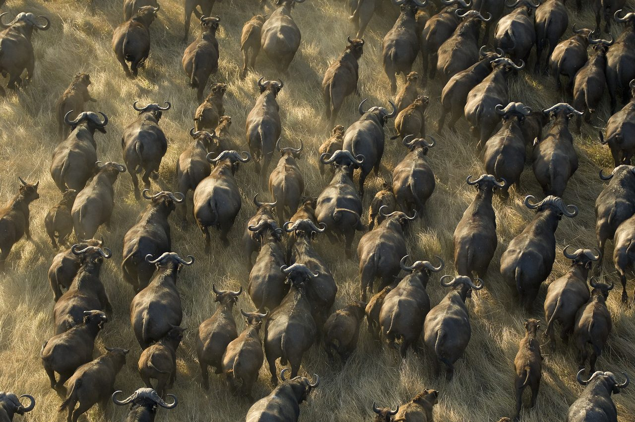 aerial view of wildebeest running in the plains of Kafue National Park on a Zambia safari