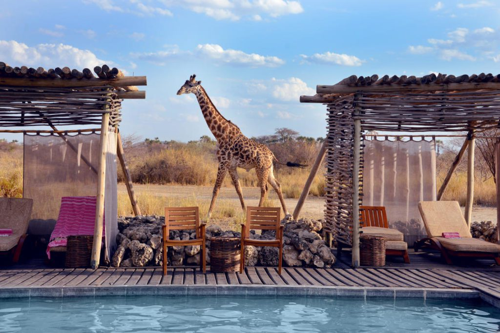 swimming pool with deck and chairs and giraffe walking in the plains behind