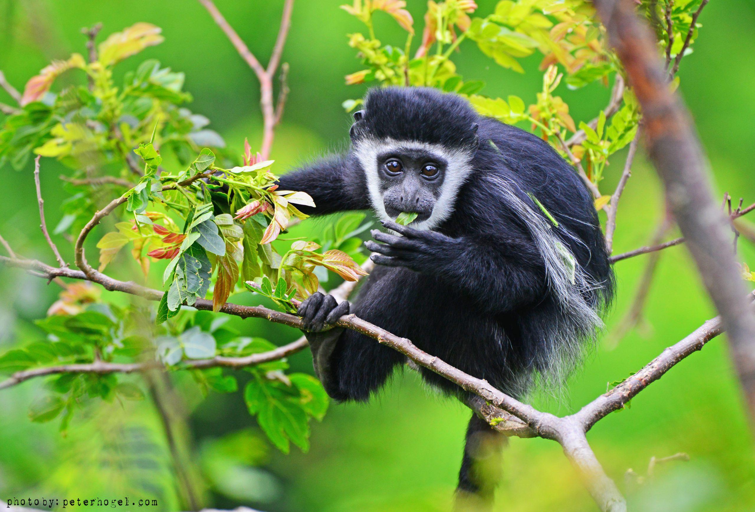 Colobus Monkey Uganda