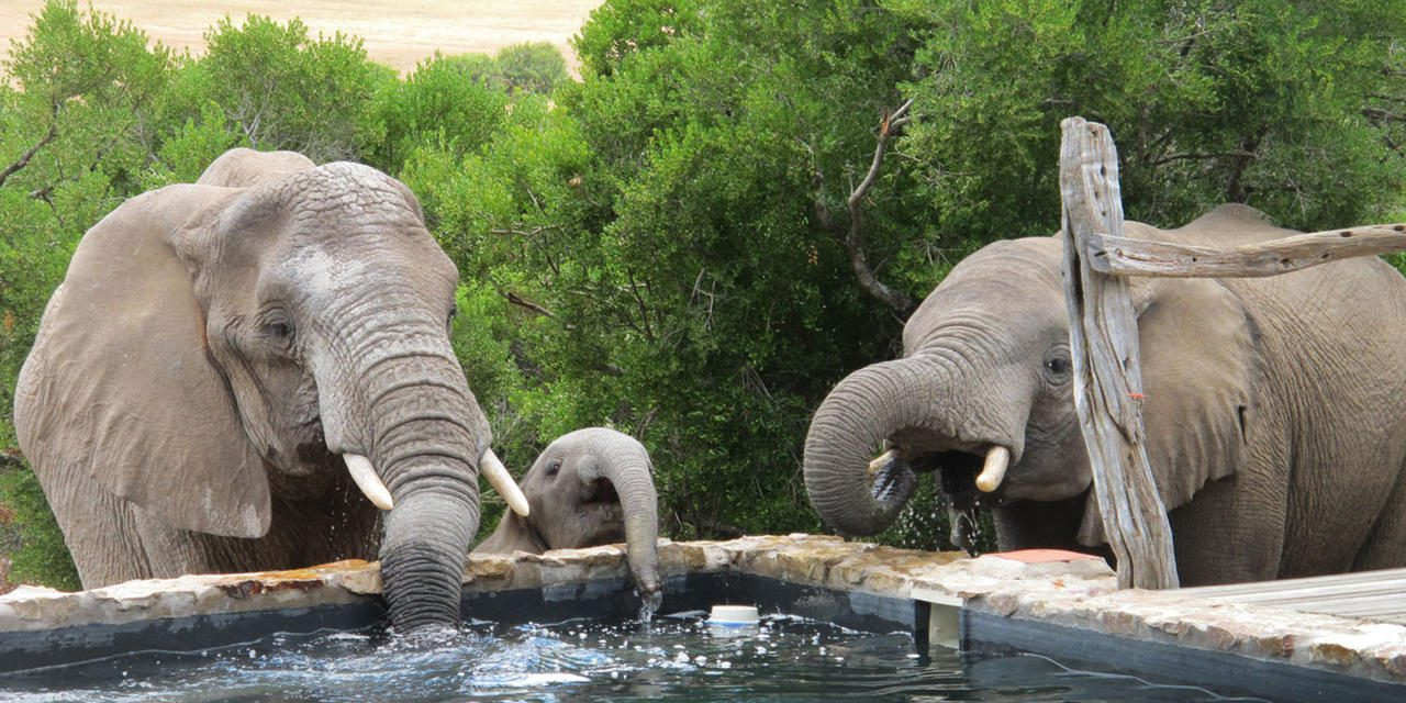 elephant drinking from the swimming pool at HillsNek in the Eastern Cape