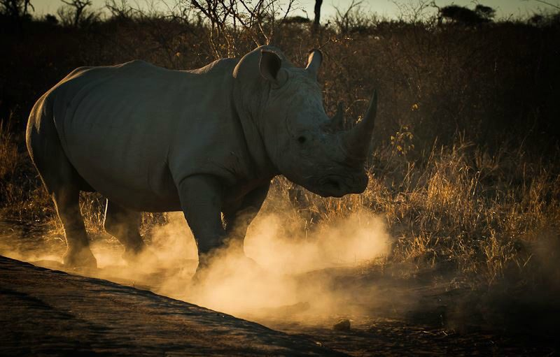 white rhino in dust on a rhino tracking safari