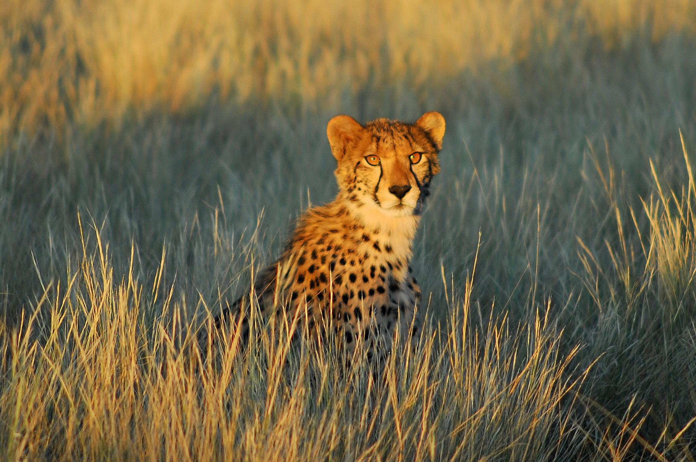 cheetah stares out into the distance among the tall golden grass with the shadow of the sun setting behind him