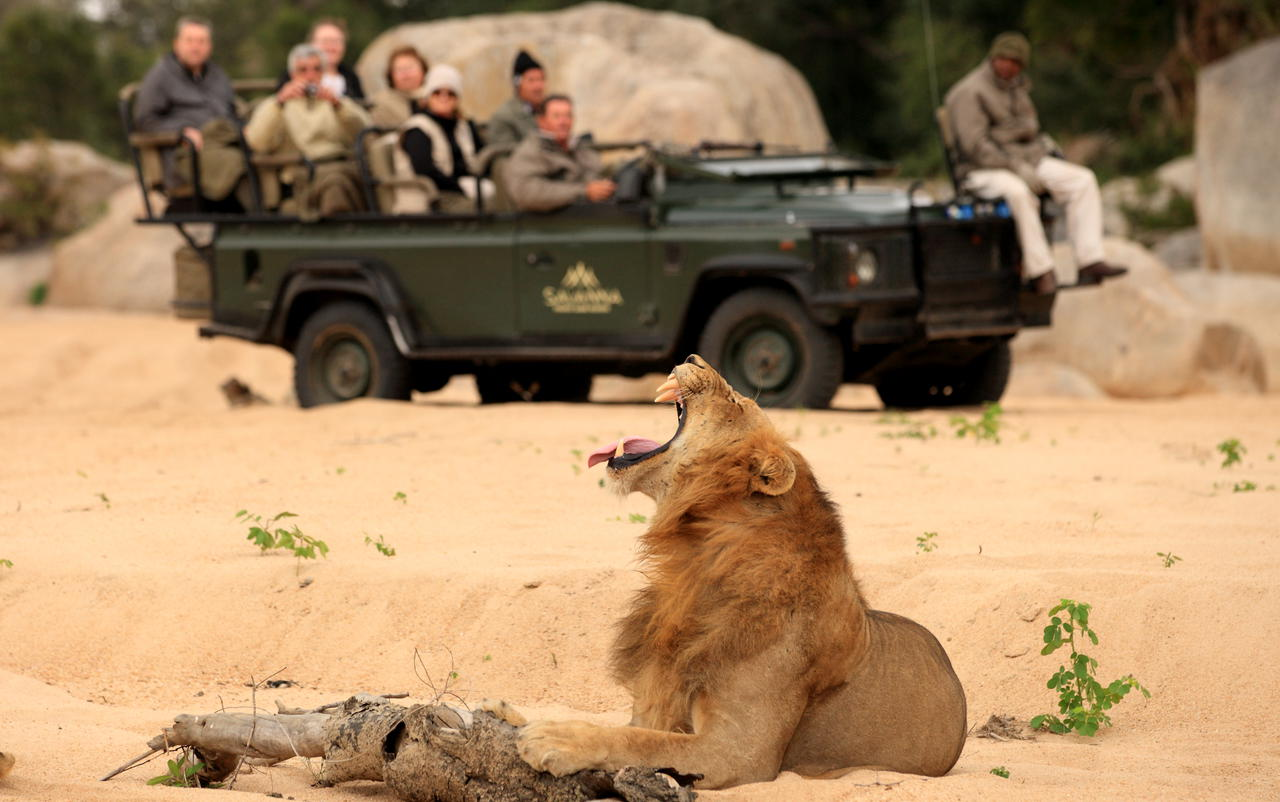 yawning male lion in the golden grass while a vehicle of safari goers look on