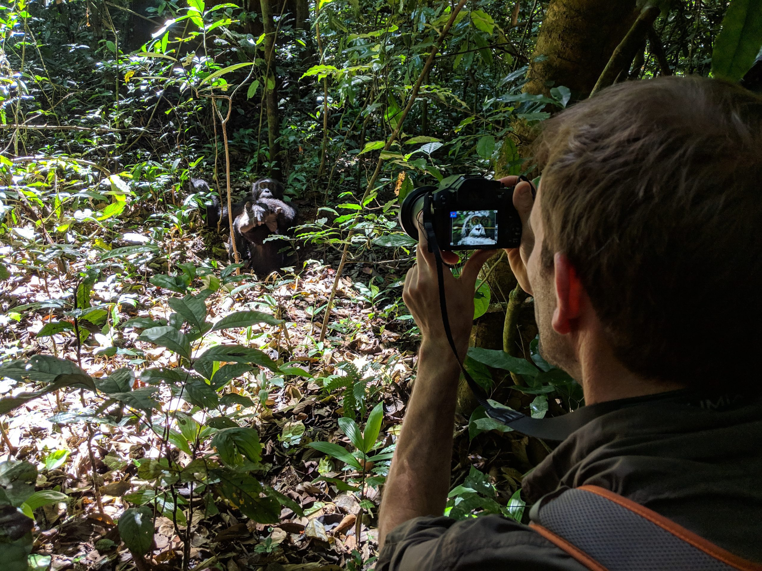 taking a photo of a chimp uganda kibale while chimpanzee viewing