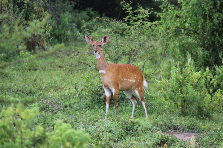 solo bush buck frozen in the lush green thicket in Lake Mburo