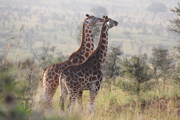 two endangered Rothschild giraffe walking in the early morning light through the savanna in Murchison Falls NP