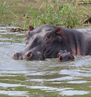 Mama Hippo and baby in river