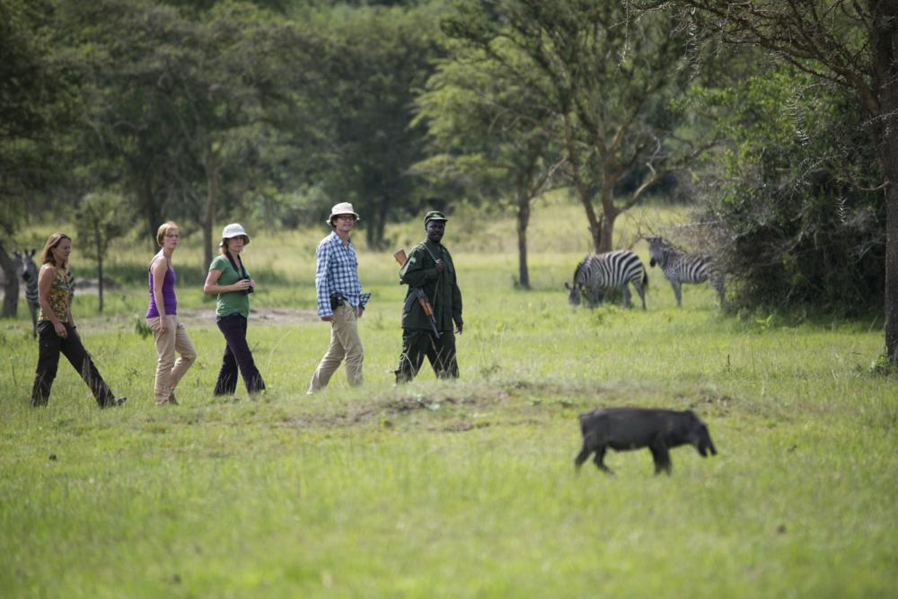 walking safari with armed ranger in the green savannah in Lake Mburo with zebra and a bush hog
