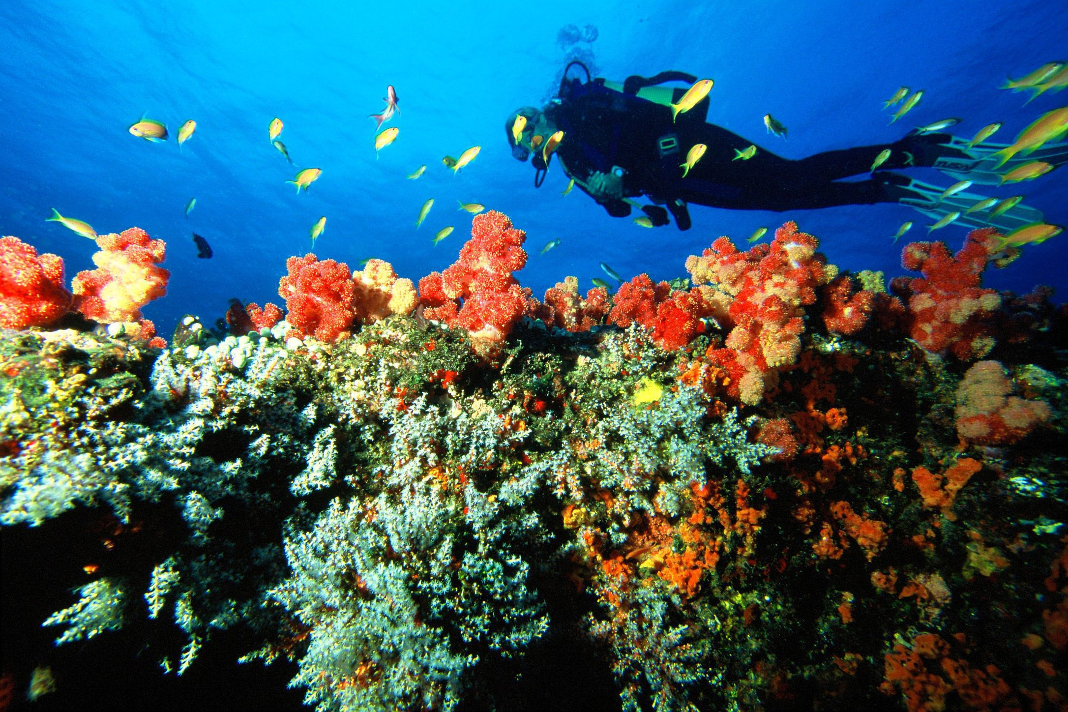 Diver above colorful coral