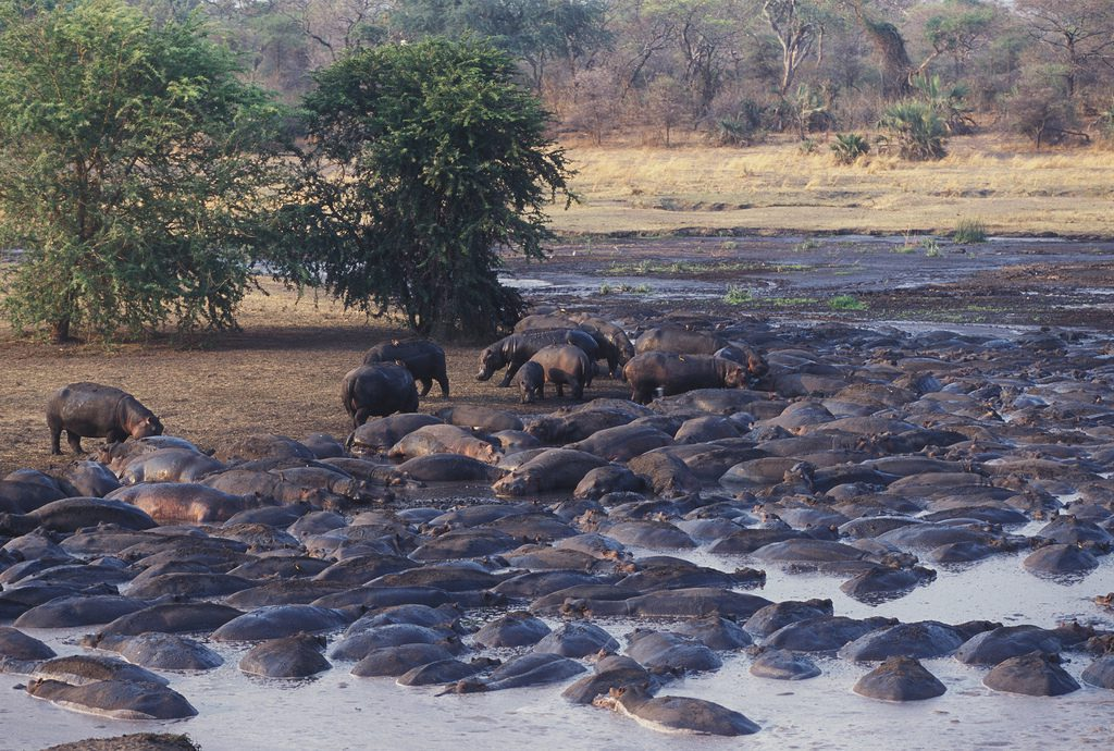 huge pod of hippos crammed into low waters of a river some hippos on the bank under trees