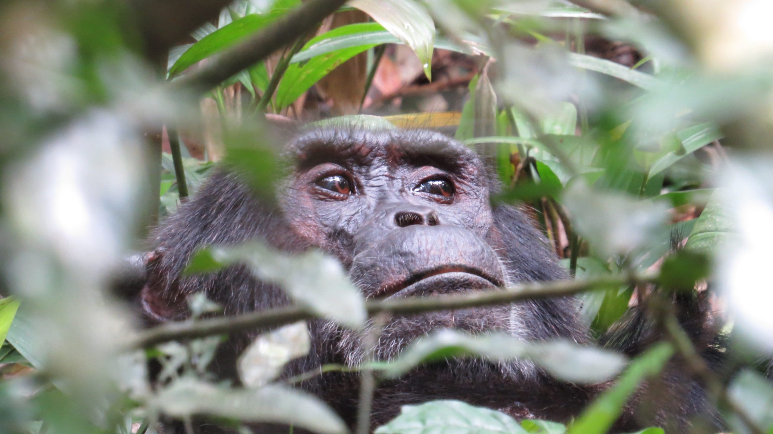 close up face of a chimp peering through the green leafy branches of the rainforest in Kibale