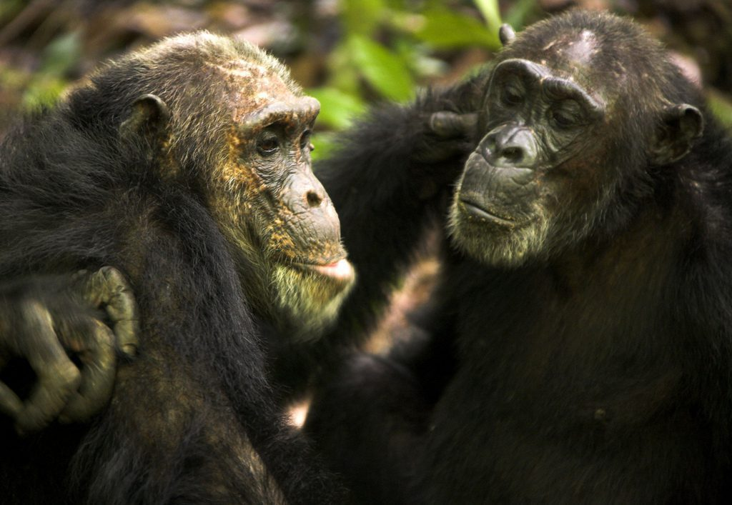 two chimps grooming one another in Mahale Mountains