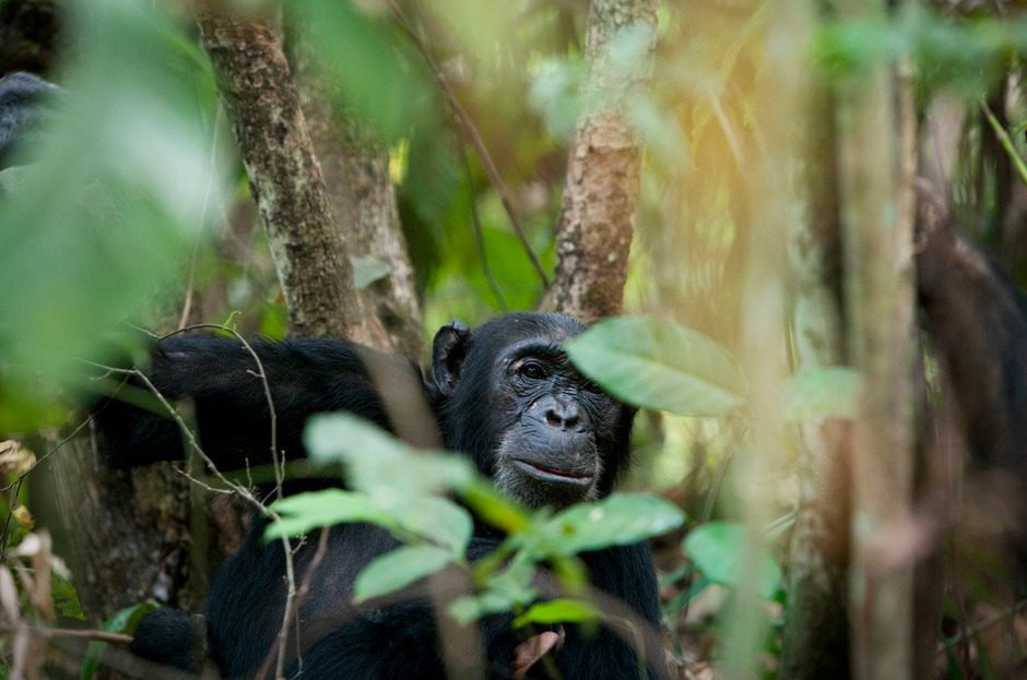 lone chimp looking through branches at Mahale