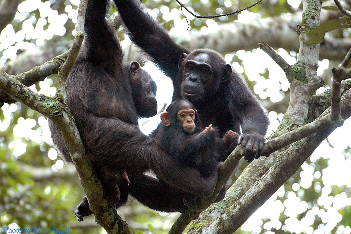 two adult chimpanzees in tree with one baby seen on a chimpanzee viewing safari in Rwanda