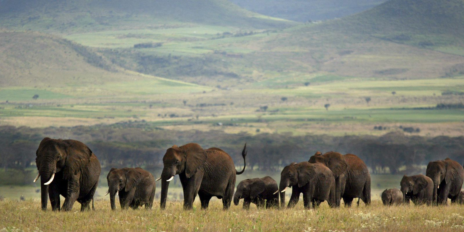herd of elephants with Lewa's green hills in the background