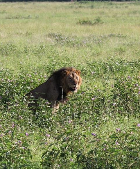 lone male lion in green grass in Queen Elizabeth National Park