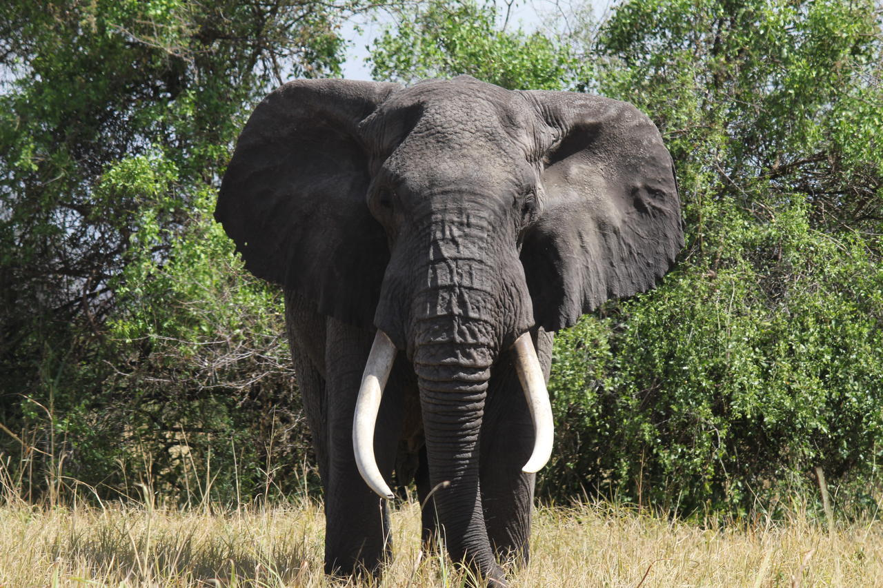 big tusked elephant facing forward with ears fanned out and green foliage behind