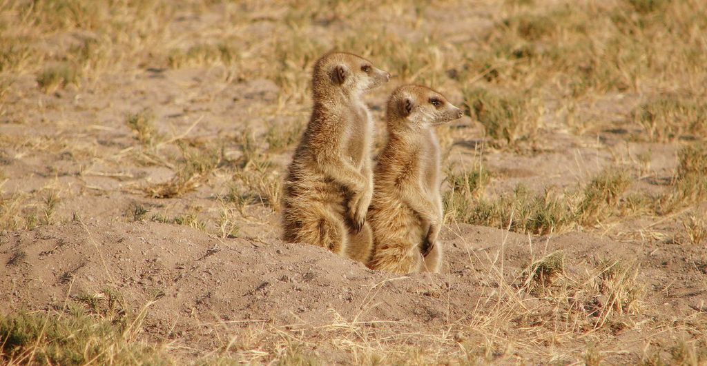 Observant Meerkats at Meno a Kwena Camp on this Southern Africa conservation safari