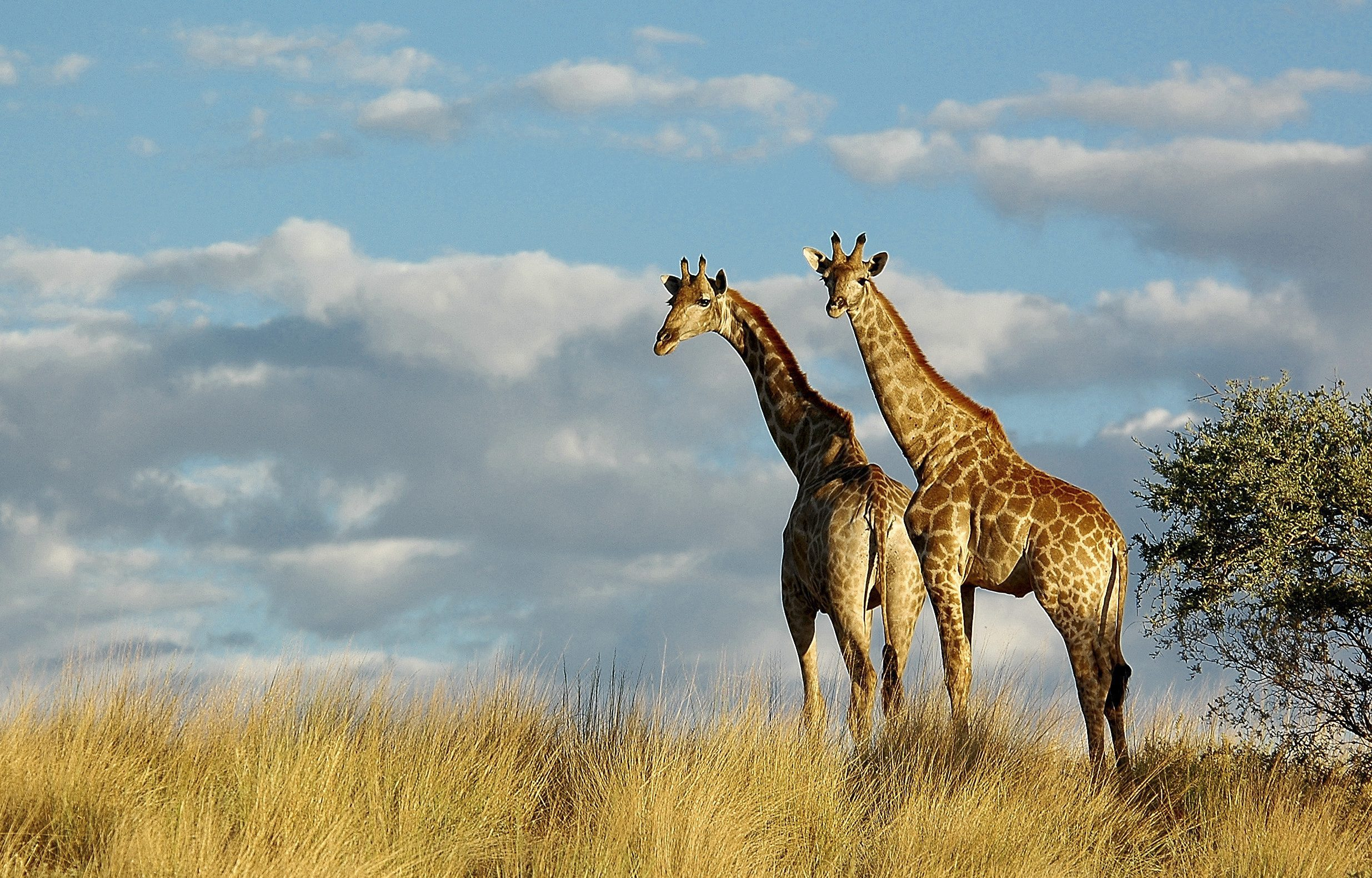 two giraffe in golden grass with sky