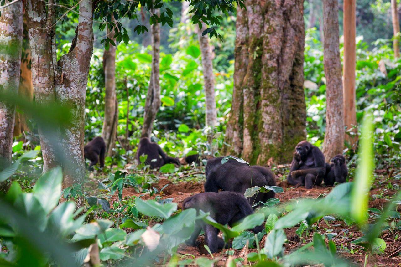 Ngaga Camp odzala congo gorilla trekking