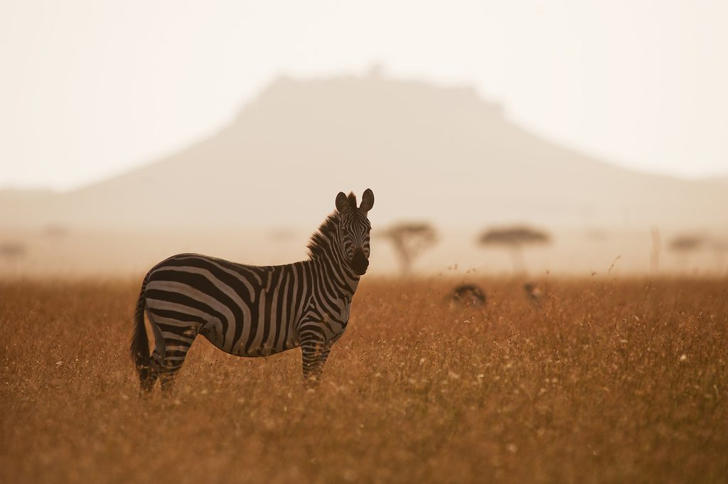 a zebra alone in a field with hills in the background seen on our northern Tanzania safari