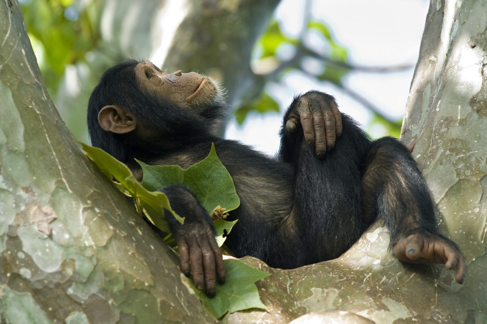 chimp seen resting on our extraordinary Uganda safari