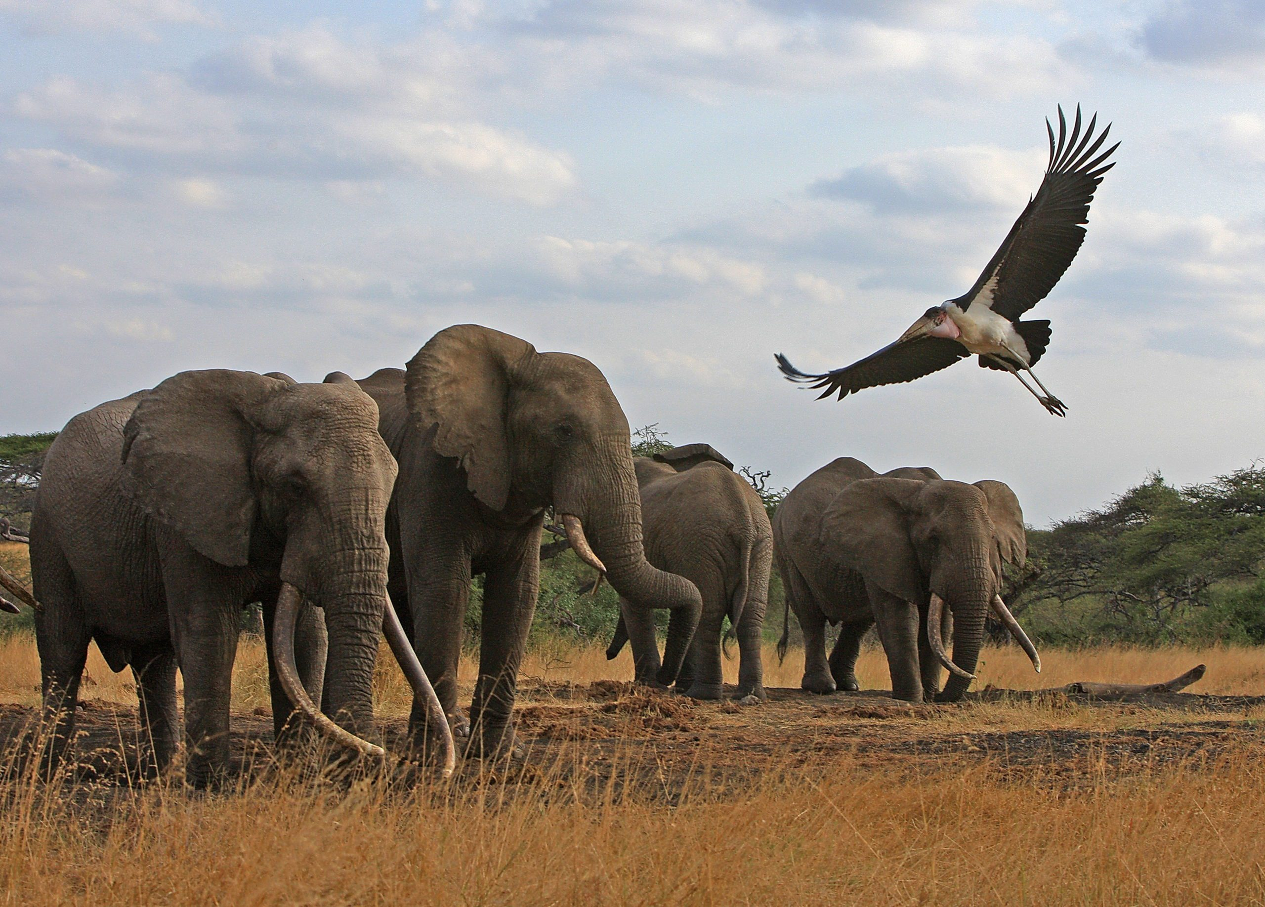 herd of tusker elephants at Ol Donyo with an eagle flying