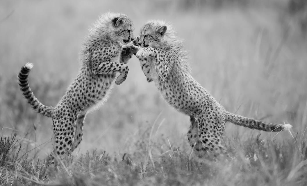 two cheetah cubs playing with each other with their arms in the air at phinda