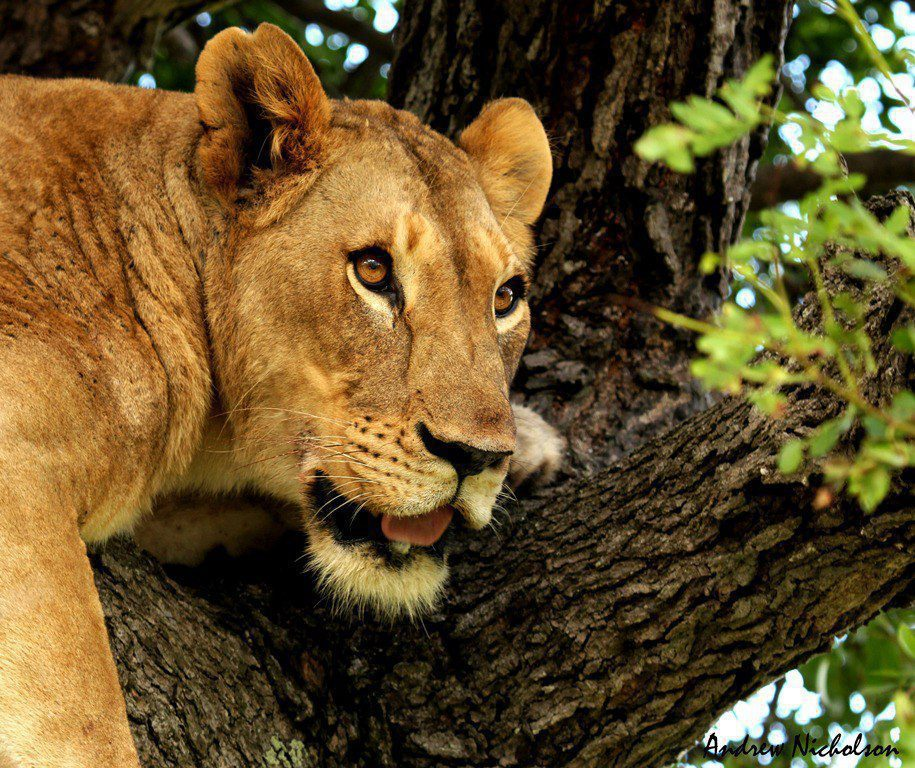grown female lion laying up in a shaded tree looking out into the distance at phinda