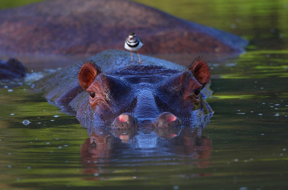 big hippo peaking out of the dark water looking at you in Sabi Sands