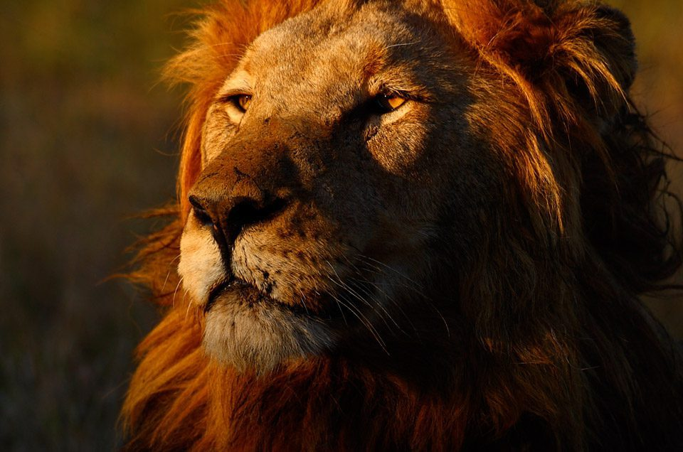 close up photo of male lion at sundown at royal malewane in south africa