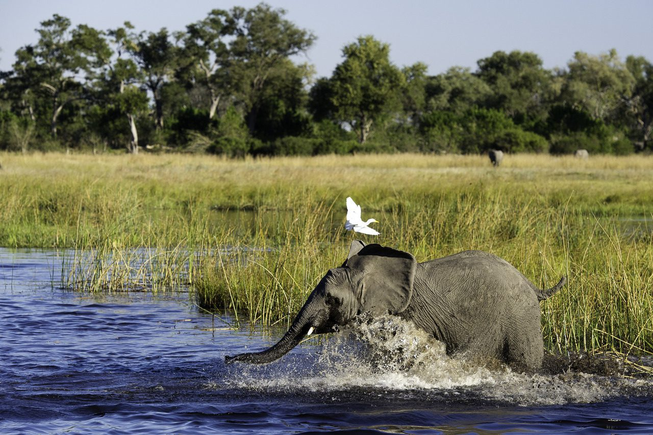 bird on elephant in savute botswana