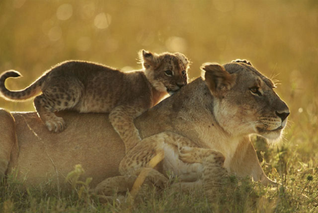 cub on mother lion in grass
