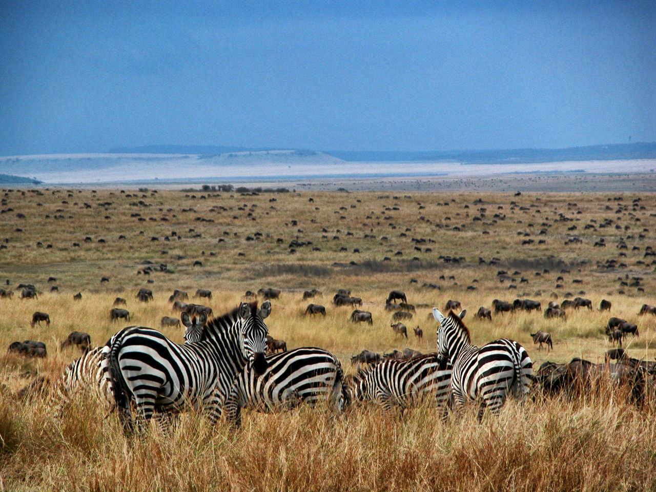 zebras overlook a field of massive herds of wildlife on a clear day on this Africa migration luxury safari