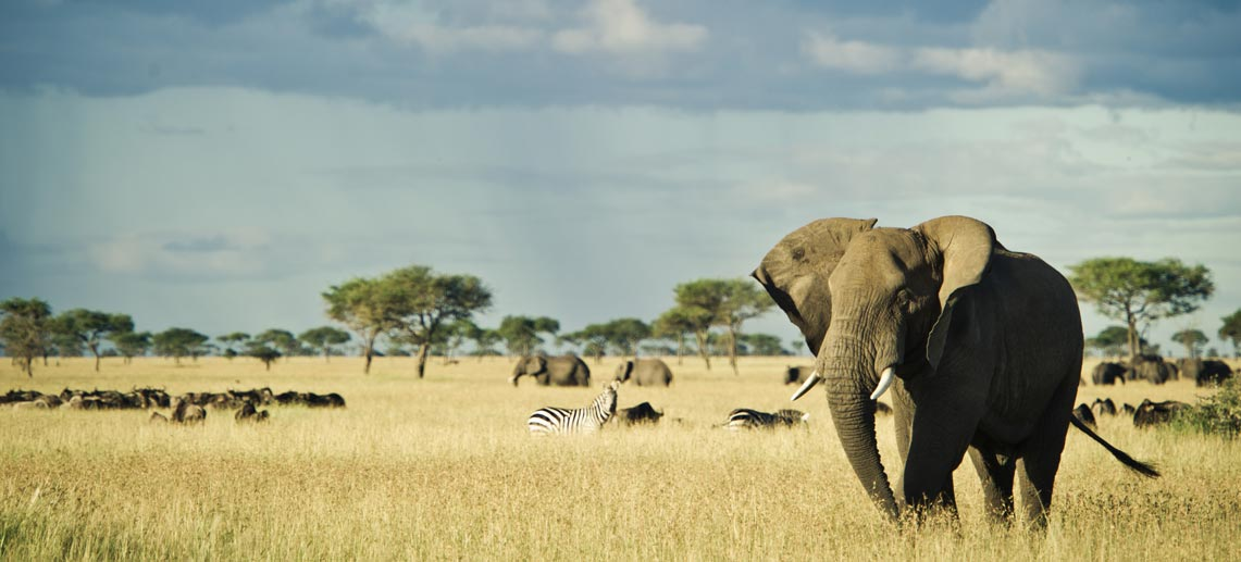 large elephant in the open plains with zebra, wildebeest, more elephants and flat topped acacia trees in the background on East Africa safari