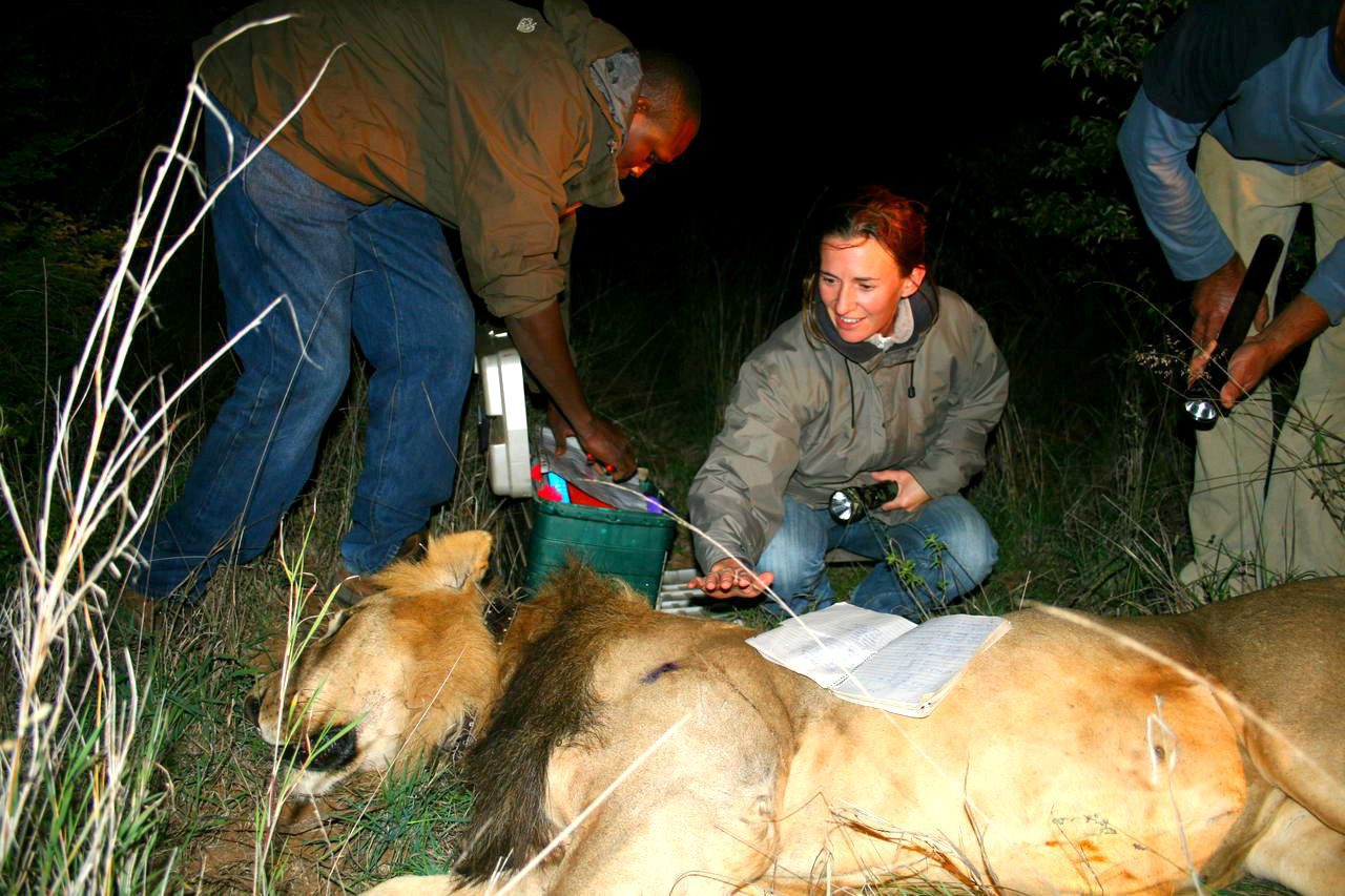 two people caring for a darted lion